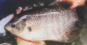 Tips Budidaya Ikan Gurame Dikolam Terpal Tembok