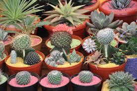 binis tanaman hias