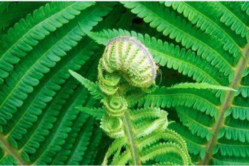 pengertian tumbuhan paku